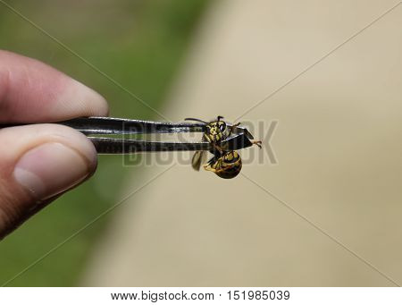 Common Wasp On Tweezers