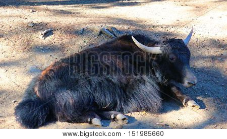 Yak having a rest lying on the ground in a zoo