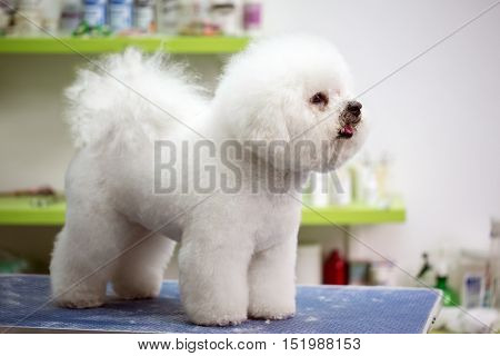 Bichon Fries with haircut on the table