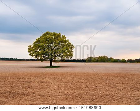Alone big oak tree in the middle of field on spring time