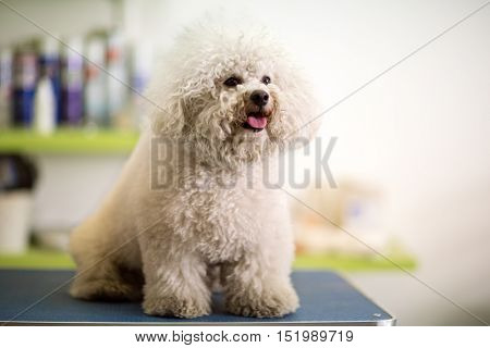 Bichon Fries in hair service