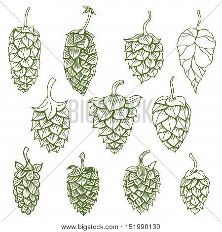 Hop organic herb plant which is used in the brewery of beer. For labels and packaging. Vector engraved illustration. Hand drawn hop Isolated on white background