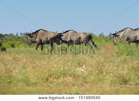 Blue Wildebeest, Koeberg Nature Reserve, Cape Town South Africa 01aa