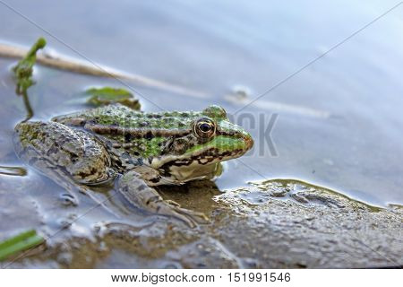 Green frog in the water - close up