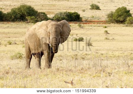 The African Elephant Standing And Eating In The Field