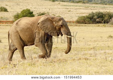 African Elephant Taking A Stroll In The Park