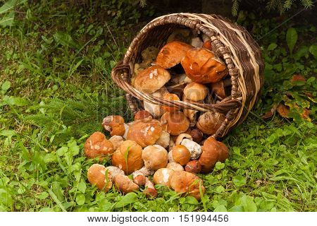 Fresh Edible Mushrooms Boletus Edubil In Wicker Basket On Green Grass In Forest. Harvesting Mushrooms. Forest Edible Mushrooms In Basket.