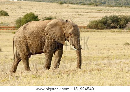 Elephant Standing And Having A Thinking Moment