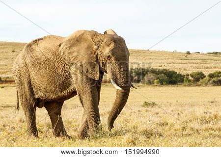 African Elephant Standing In A Field Of Sort Grass
