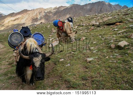 Yaks carrying goods and supplies on the way around the holy Mount Kailash in Tibet