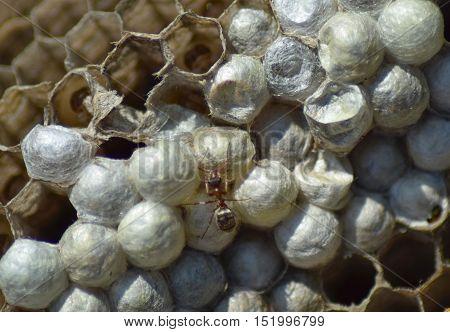 Ant On The Abandoned Hornet's Nest