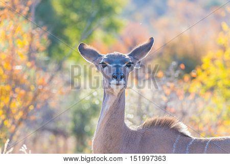 Cute Elegant Kudu Female Head Close Up And Portrait. Wildlife Safari In The Kruger National Park, Th