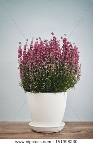 Calluna vulgaris (known as common heather ling or simply heather) in flower pot on blue background