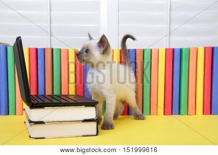 One Siamese kitten with blue eyes standing next to a miniature laptop computer stacked on books with books in background. Looking at computer screen.