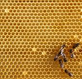 picture of honey-bee  - honey comb and a bee working - JPG