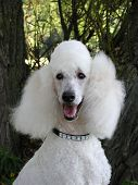 Standard Poodle Portrait poster