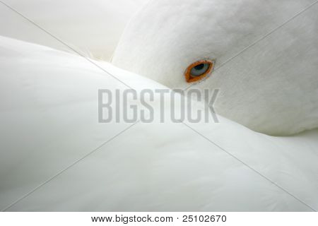 White Goose tucking in Beek Under Wing
