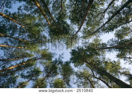 Pine Wood.