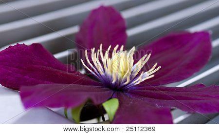 Purple Clematis Macro