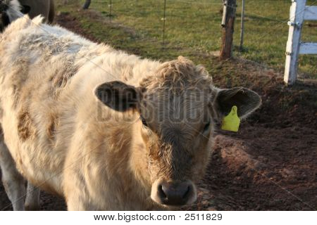 Img_0254Cow