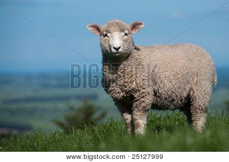 Large Lamb