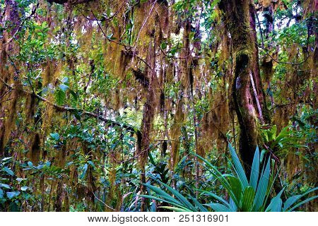 Tillandsia Usneoides Hanging From Trees
