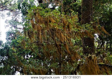 Tillandsia Usneoides Spotted In The