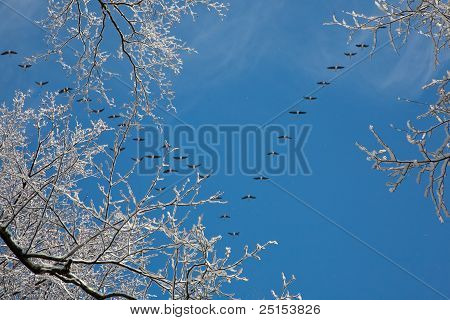 Snow Wrapped Alder Branch And Flock Of Geese Flying Over
