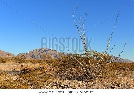 Cacto Ocotillo no deserto de El Paso
