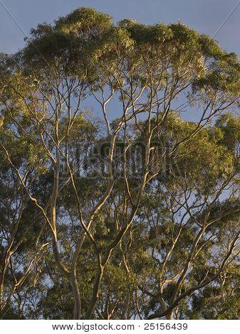 Eucalyptus Tree-Top Sunrise