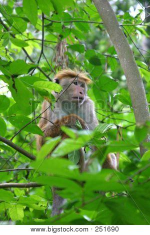 Toque macaco