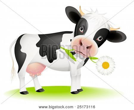 Little black and white cow eating daisy