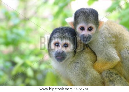 Squirrel Monkey Family