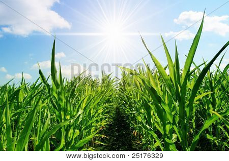 young corn on a background a bright sun