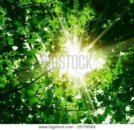 rays of a sun through the green leaves of the forest