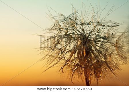 dandelion on a background sunset - macro