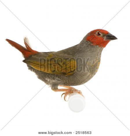 Red-Headed Finch - Amadina Erythrocephala
