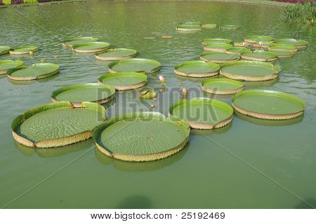 Big Lotus Leaves