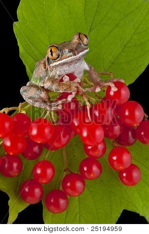 Big-eyed Tree Frog On Berries