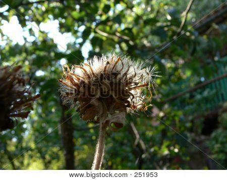 Elecampane Seeds