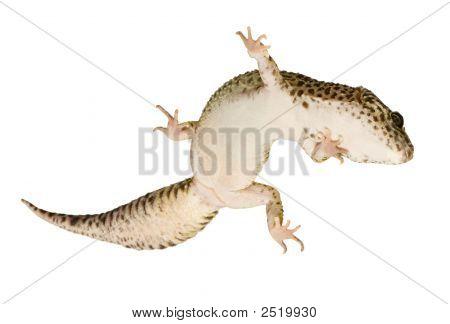 Leopard Gecko Eublepharis macularius