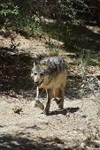 Fatigued Tundra Wolf Walking On A Sunny Day. poster