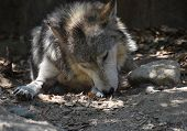Cute Mexican Wolf Licking His Left Paw. poster