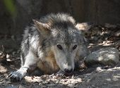 Beautiful Gray Wolf Resting On A Pile Of Leaves. poster