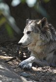 Fantastic Up Close Profile Of A Tundra Wolf. poster