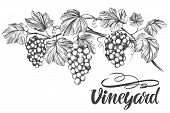 Grape Vine, Grape, Calligraphy Text Hand Drawn Vector Illustration Realistic Sketch. poster
