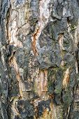 Scorched Bark Close Up, Background. Wooden Texture Abstract Background. Tree Bark Charred In The Fir poster