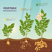 Growth Rate Or Stages Of Potato. Praties Infographic Or Murphy Poster. Agriculture And Botany, Biolo poster