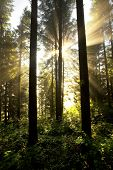 Misty sunrise forest landscape. Carpathian firs wood