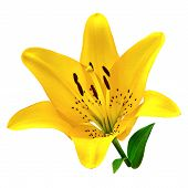 Flower Yellow  Lily Isolated On White Background. Close-up. Flower Bud On A Green Stem With Leaves. poster